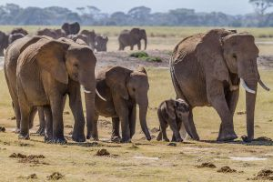 Herd_of_Elephants